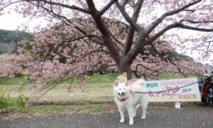 みなみの桜2020